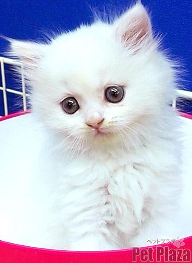 スコティッシュ 子猫 白 大阪府高槻市 京都