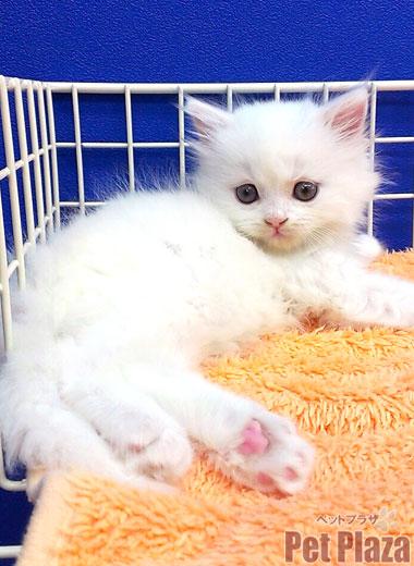 スコティッシュ白 子猫 大阪府高槻市 京都