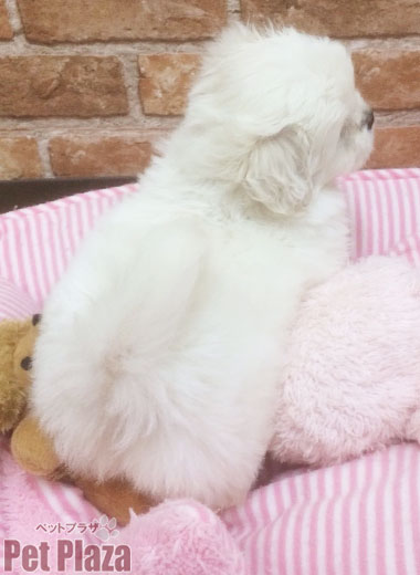 MIXペキプー 白 子犬 大阪府高槻市 京都