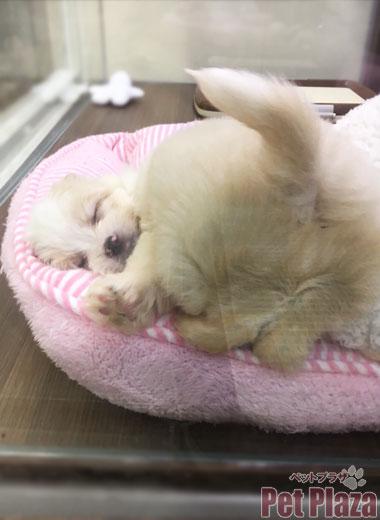 MIXマルチワ 子犬 大阪府高槻市 京都