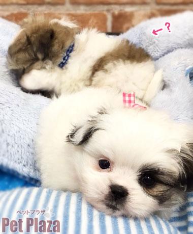 MIXマルポメシーズー 子犬 大阪府高槻市 京都 茨木市