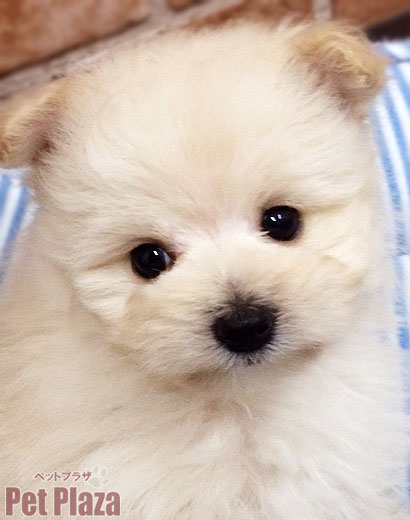 MIXポメプー 子犬 白 大阪府高槻市 茨木市 京都