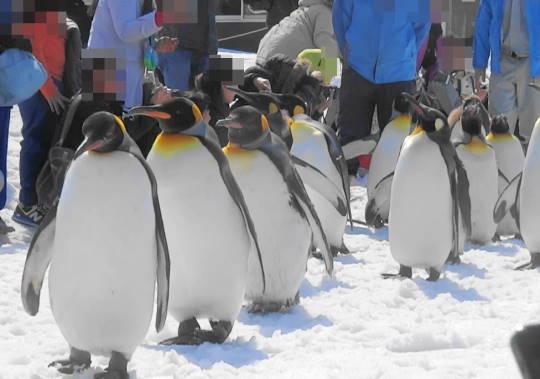 旭山動物園でのペンギン行進 (3)