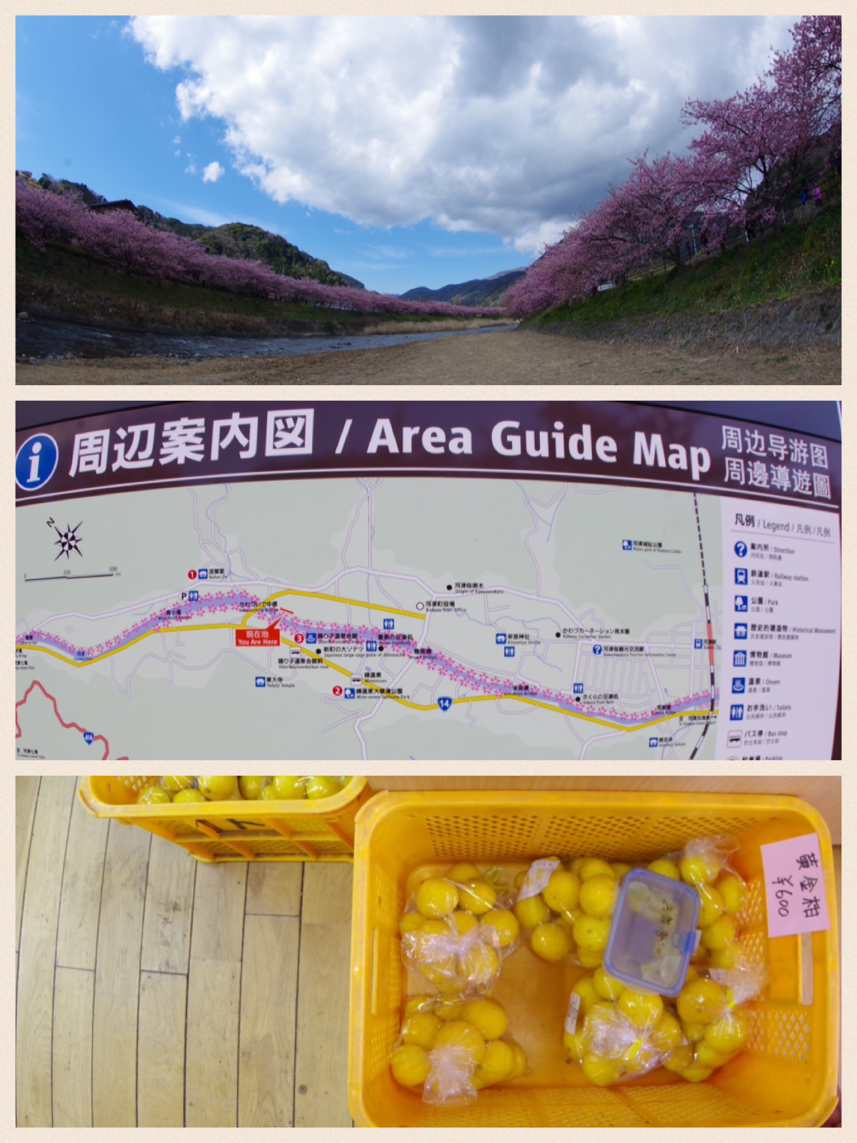 伊豆河津桜祭り 黄金柑