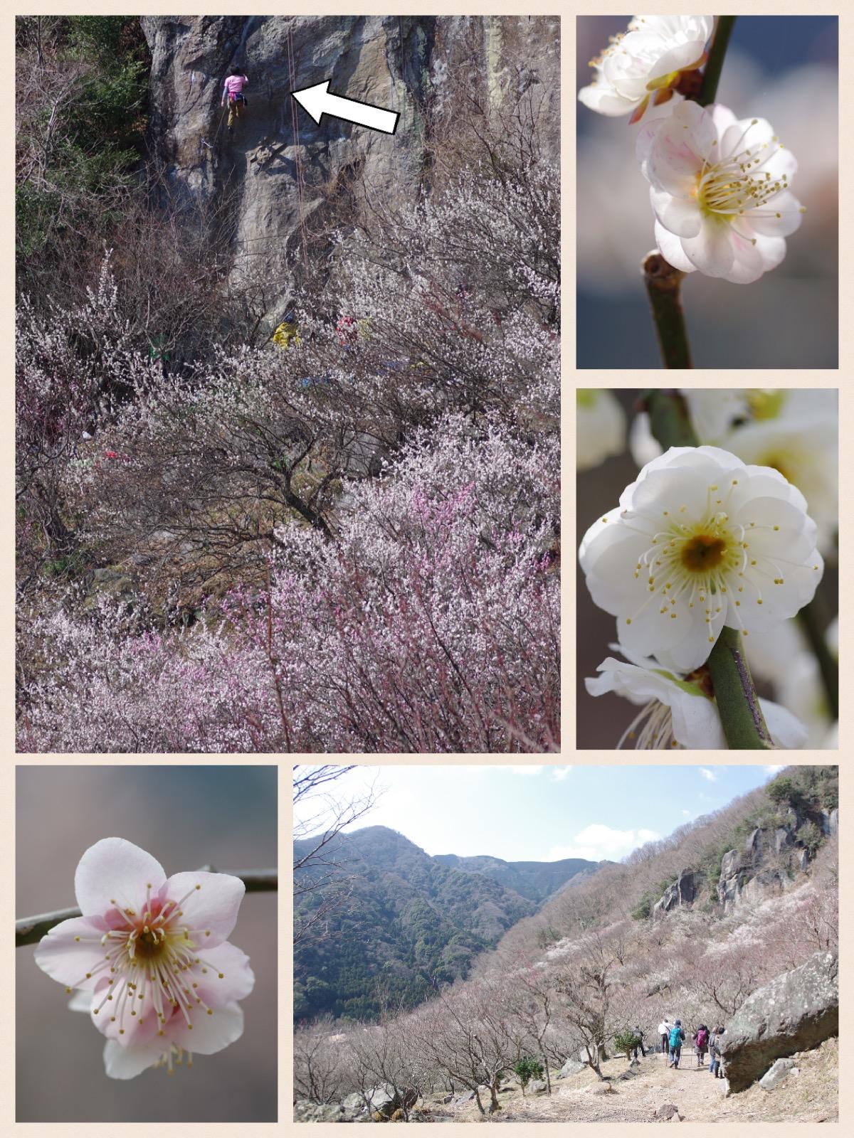 湯河原梅林(幕山梅林)梅の宴 2016