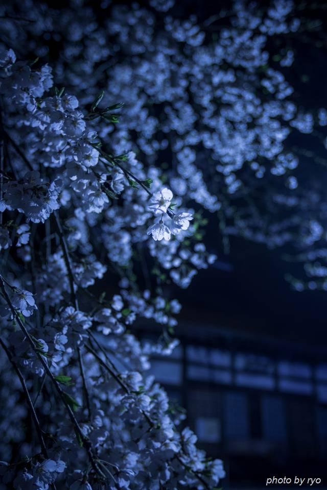 鳳源寺の枝垂桜 2016_1