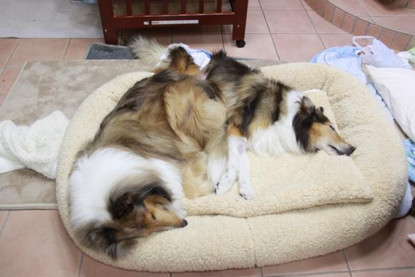 IMG_1281二匹で犬ベッド