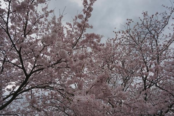 桜sDSC05316