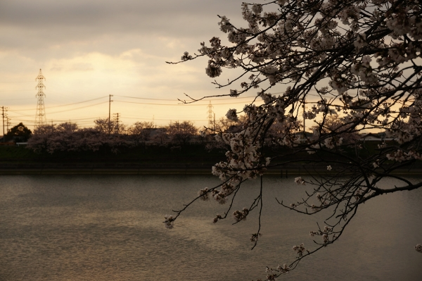 桜sDSC05343