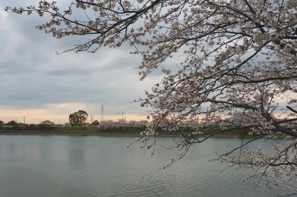 桜sDSC05318
