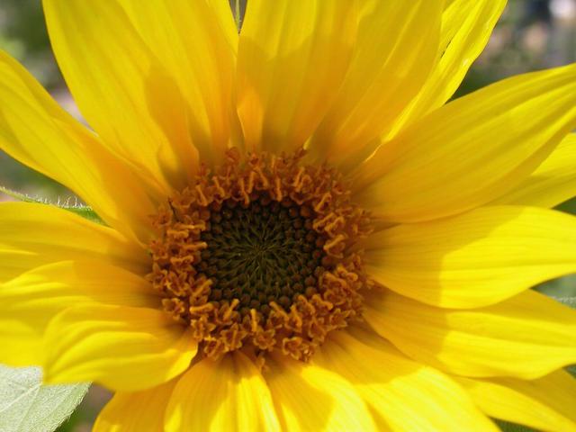 yellow_daisy.jpg
