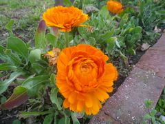【写真】オレンジ色のキンセンカの花が咲いている様子