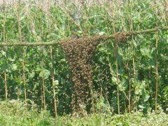 【写真】三郎畑のサヤエンドウの支柱に群がる分蜂途中のミツバチたちの様子
