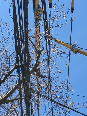 電線のそばの桜