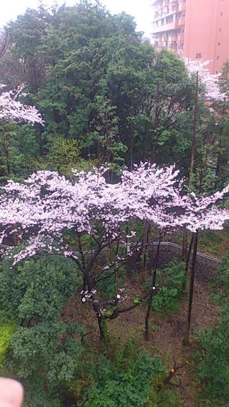 桜2016(1)