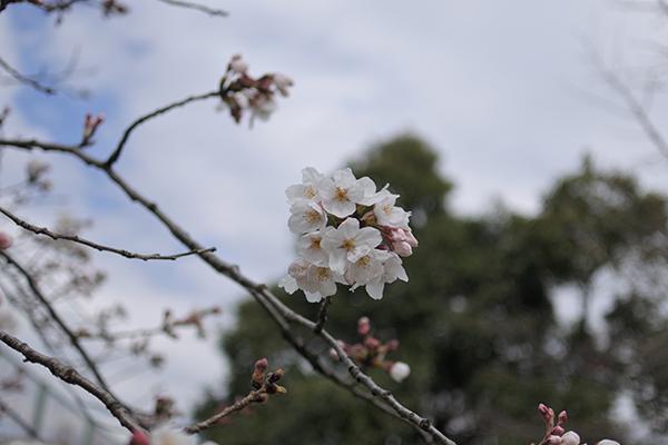 ちょっと咲いてたソメイヨシノ
