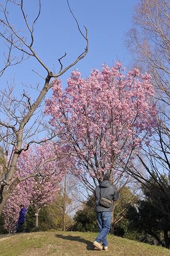父も桜撮る