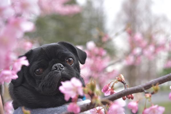 河津桜とうるま