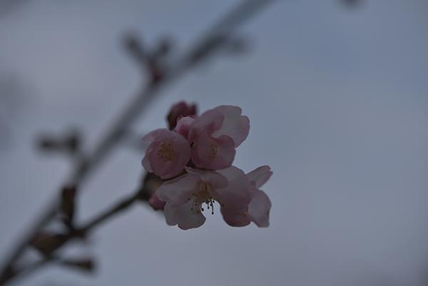 どよよーん桜