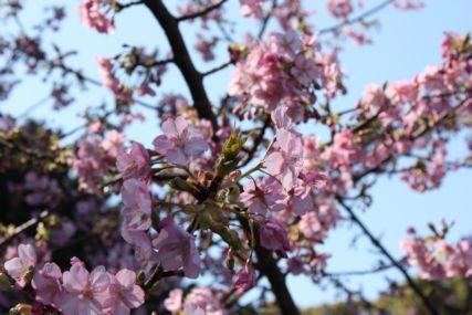2016feb西伊豆桜