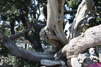 2016feb大瀬崎ビャクシンの木