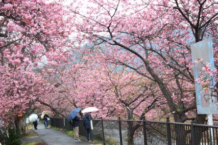 2016feb伊豆河津の桜