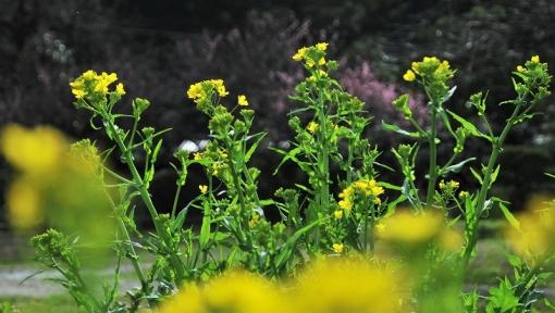 7504菜の花163121
