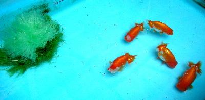 魚巣 投入