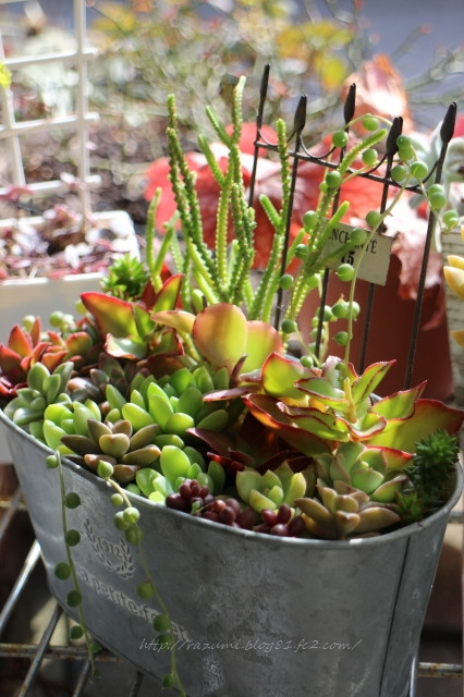 多肉植物 寄せ植え