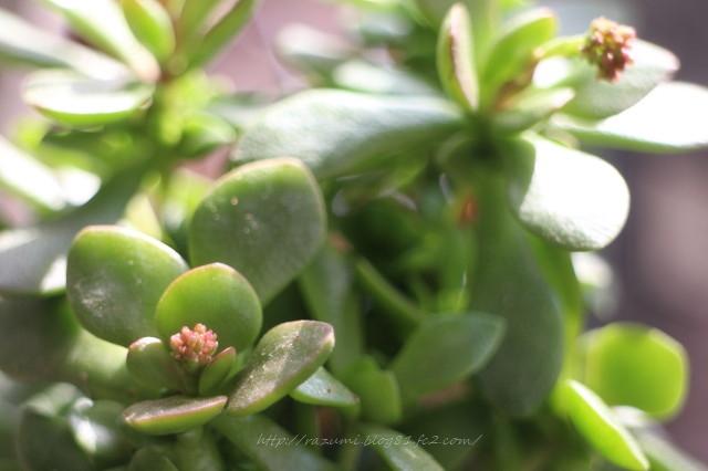 多肉植物 クラッスラ紅稚児