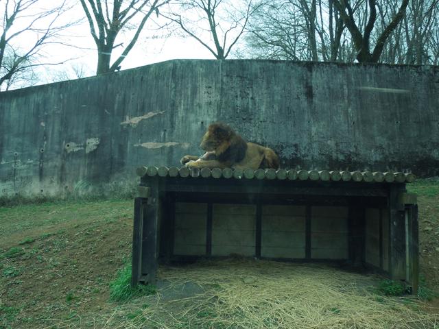 骨をかじるライオン