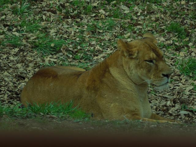 ライオンかっこいい