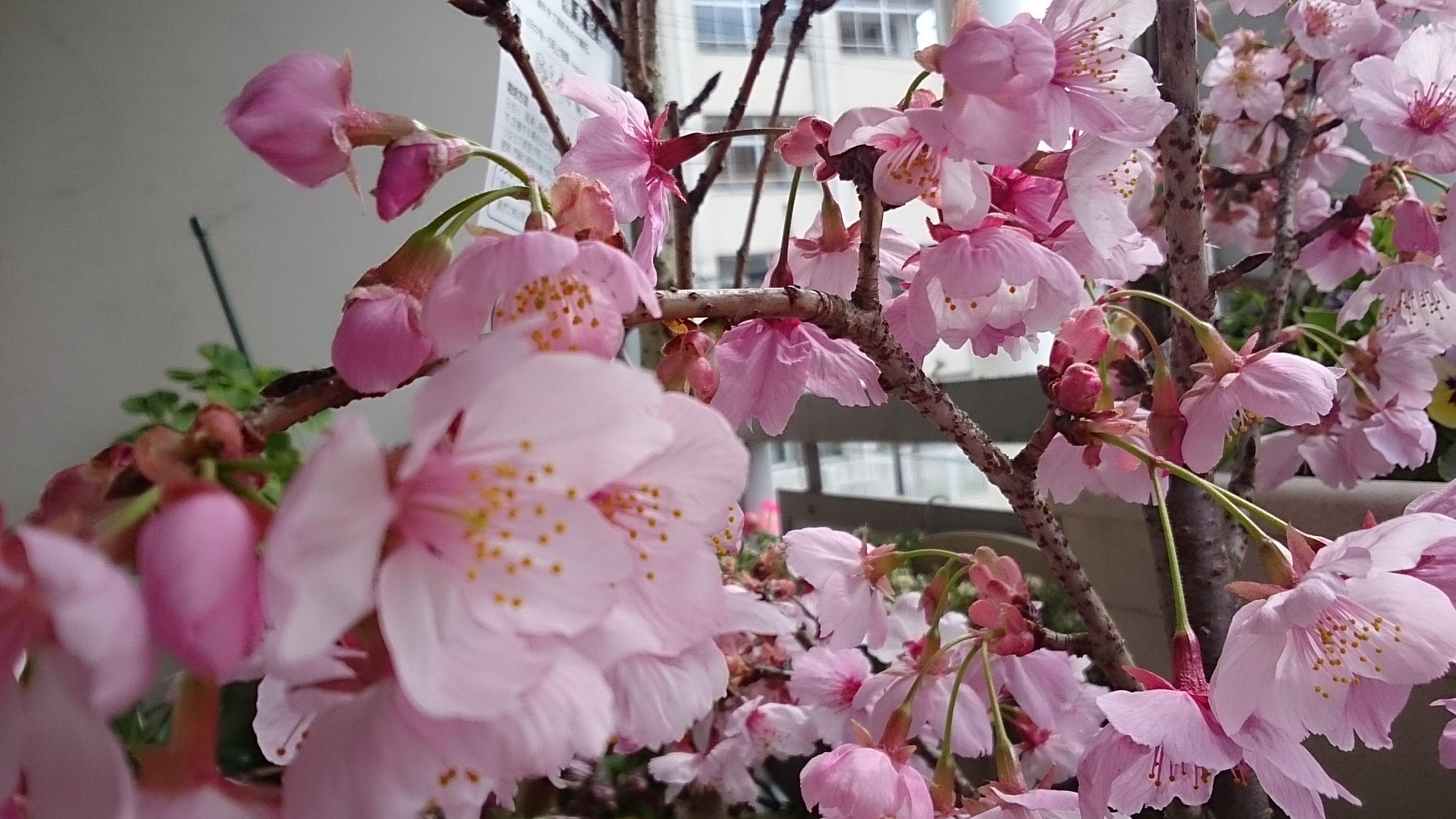 まさよの桜/陽光