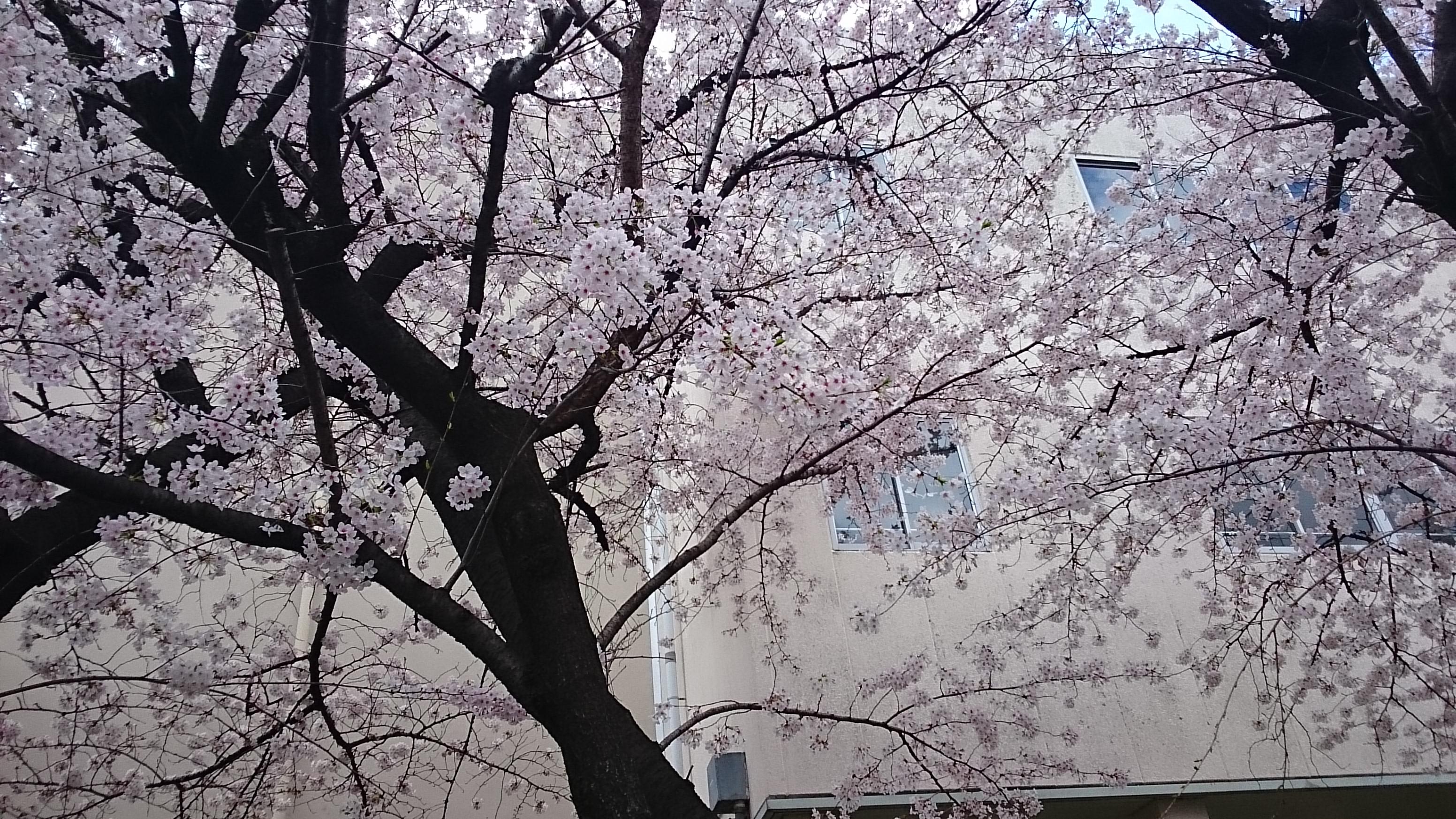 弁天小学校の桜