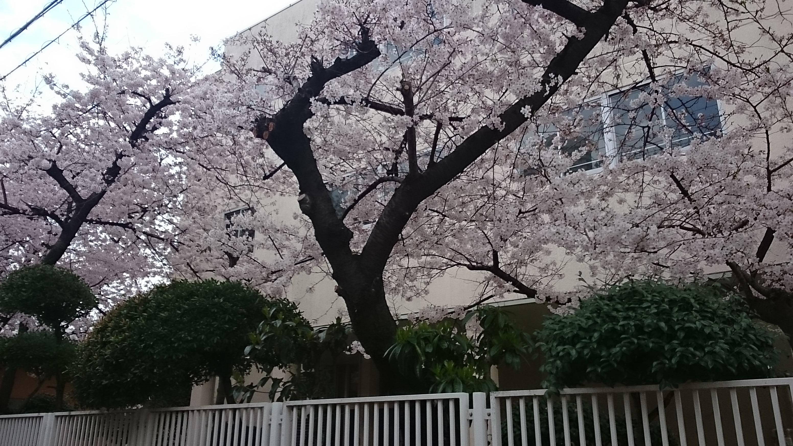 弁天小学校の桜/2