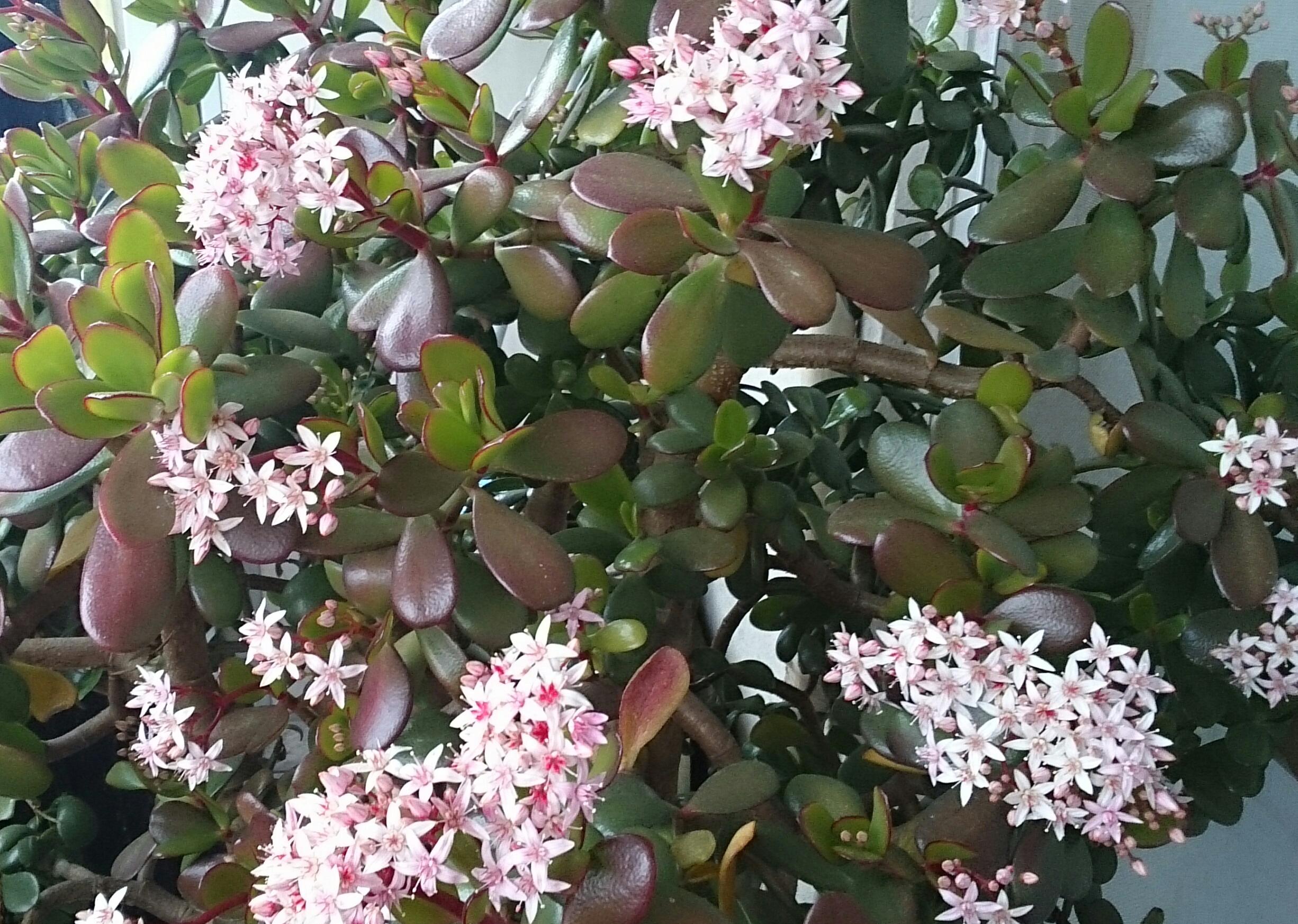 横向き/金のなる木の花