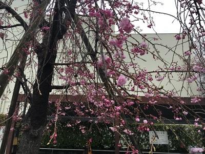 桜4220164
