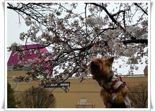 まだ桜は5部咲きIMG00656-20160330