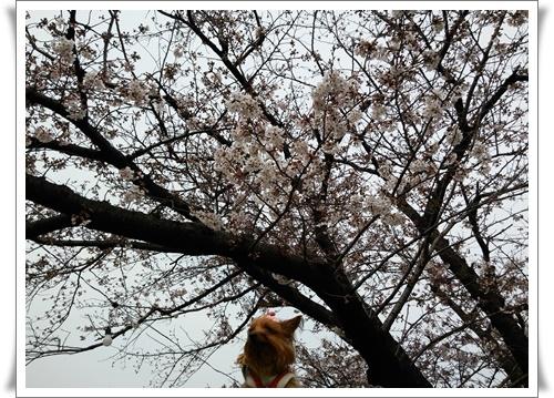 まだ桜は5部咲きIMG00657-20160330