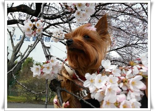 まだ桜は5部咲きIMG00660-20160330