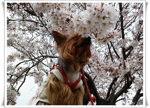まだ桜は5部咲きIMG00662-20160330