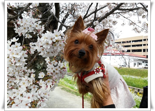 まだ桜は5部咲きIMG00663-20160330