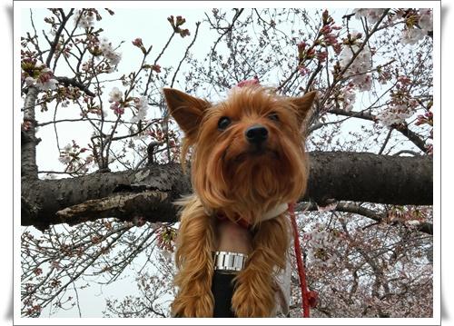 まだ桜は5部咲きIMG00664_HDR-20160330