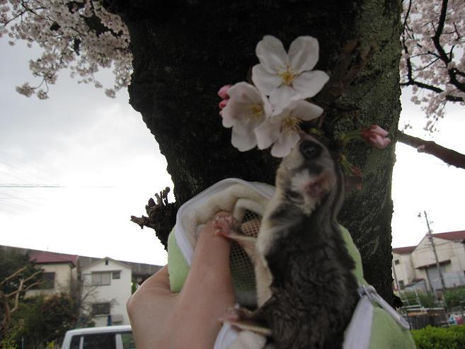 rinn桜③