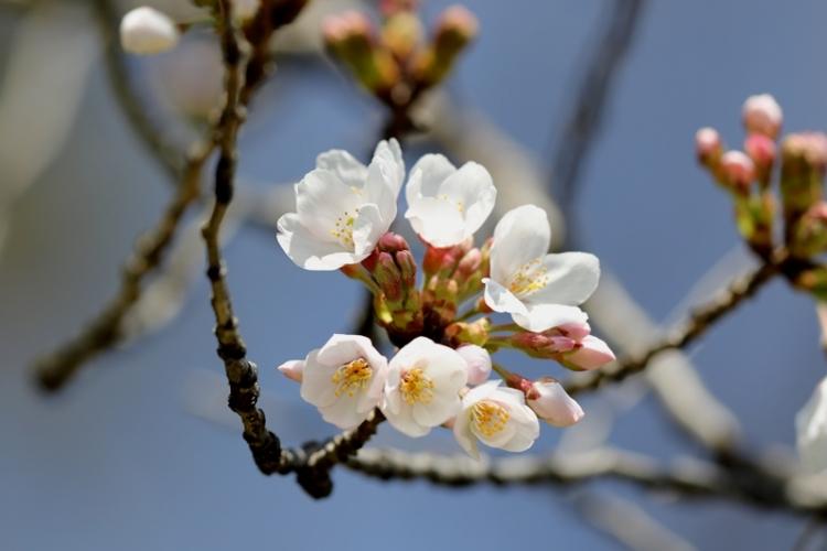 桜1160322