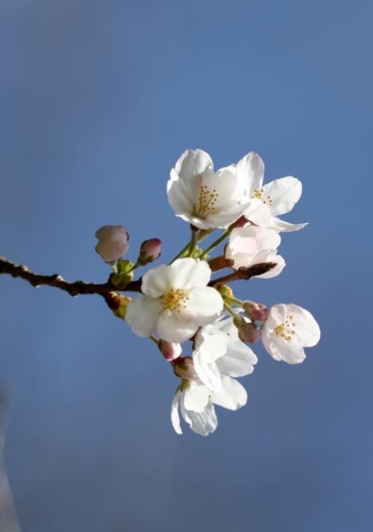 桜2160322