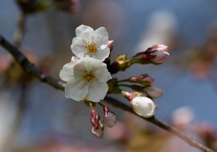 桜3160322
