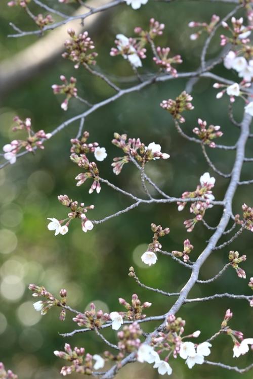 桜6160322