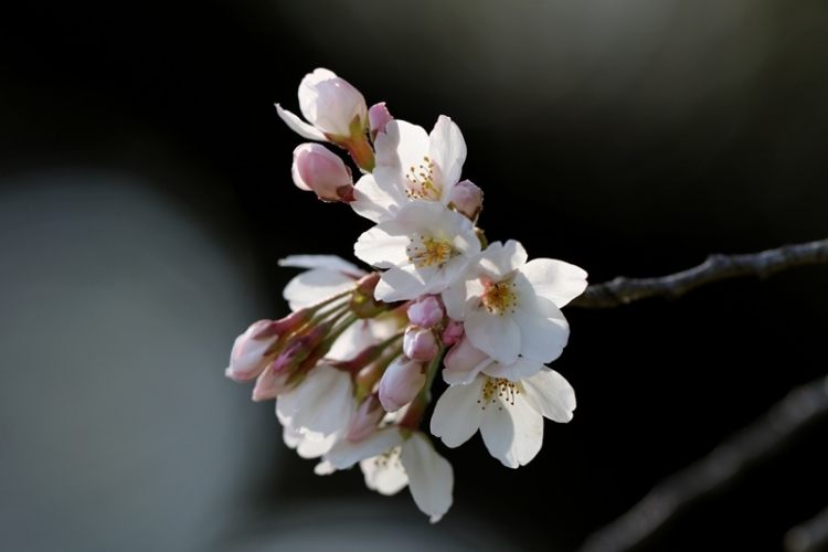 桜7160322