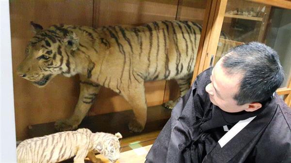 22日、京都市の学校法人同志社で、トラの剥製と対面する韓国の市民団体代表(市民団体提供・共同)_wor1602240002-p1
